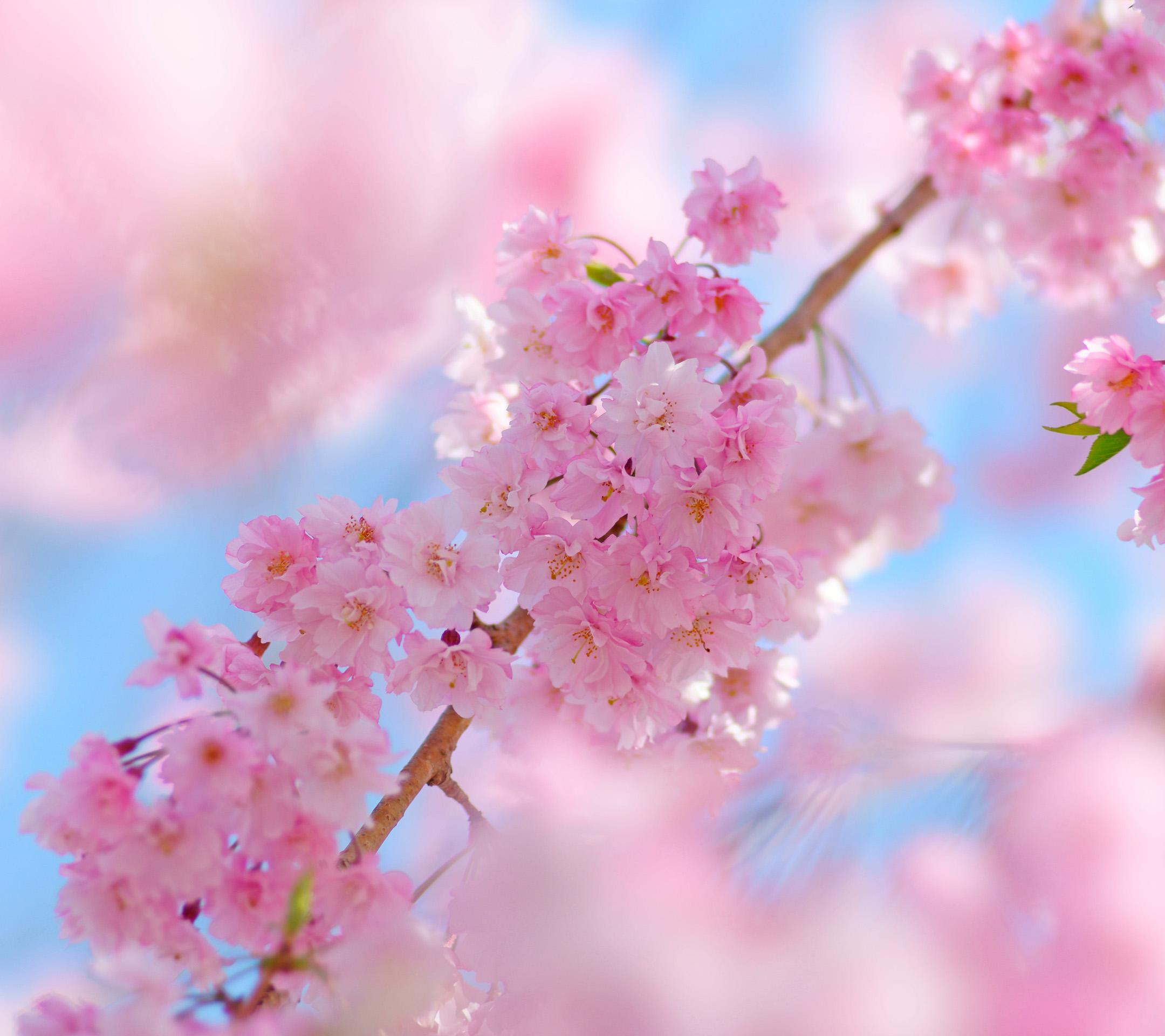 サクラ 桜 スマホ壁紙ならandroid壁紙タウン